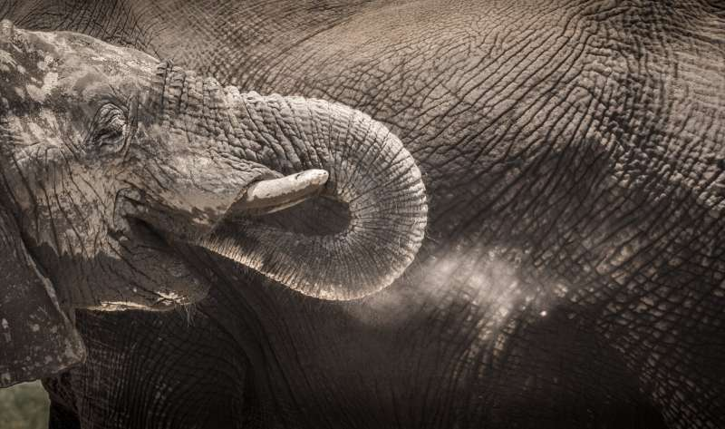 Old males vital to elephant societies