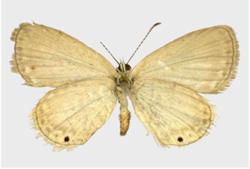 Over a century later, the mystery of the Alfred Wallace's butterfly is solved