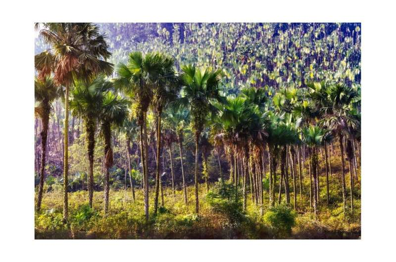 Palm trees most abundant in American rainforests
