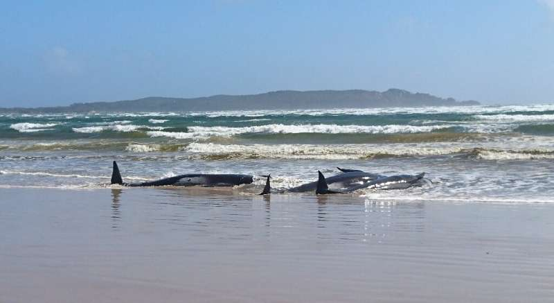 Police and marine experts are assessing the situation ahead of plans to rescue around 250 whales stranded on a sandbar in Tasman