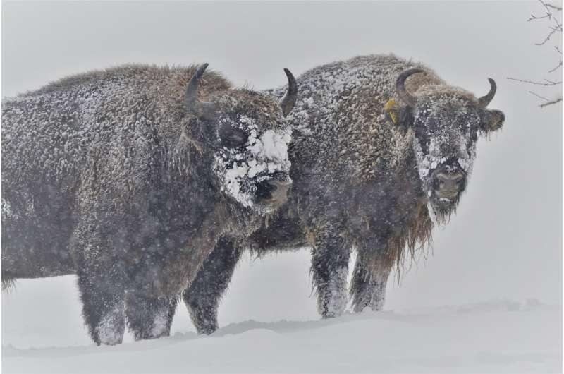 Proper etiquette in the presence of bison