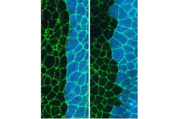 Protein tells developing cells to stick together