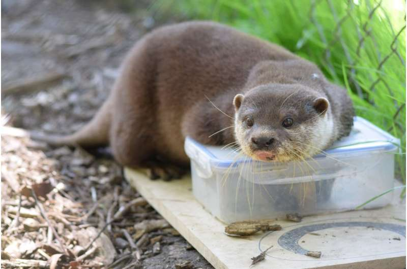 Puzzled otters learn from each other