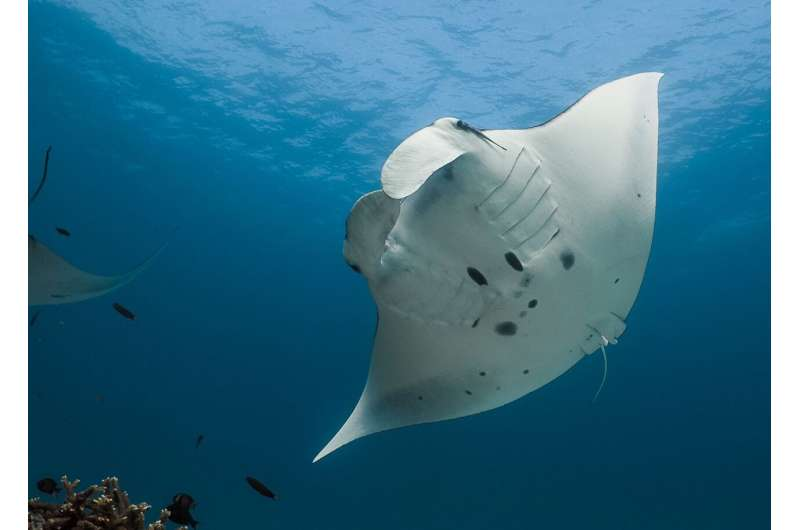 Reef manta rays make long-term use of marine-protected areas