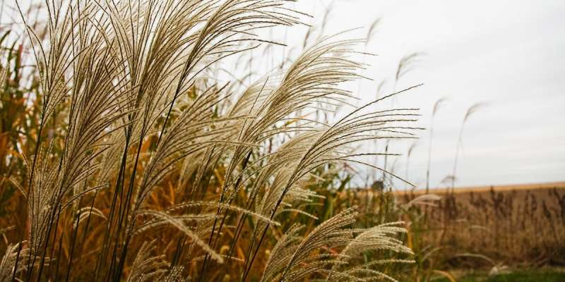 Research could save years of breeding for new Miscanthus hybrids