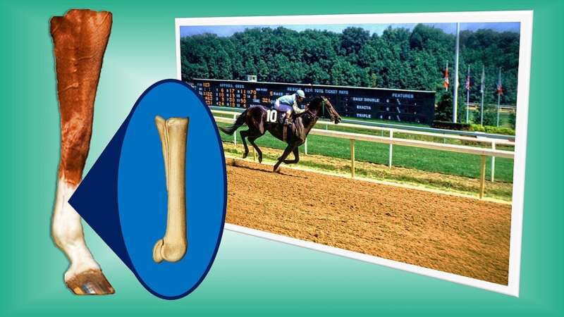 Research story tip: Horse skeletons provide clues to preventing racehorse injuries