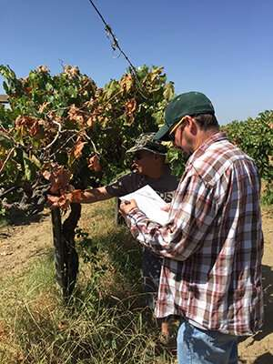 Risk of vine-to-vine spread of Xylella fastidiosa is greatest in July and August