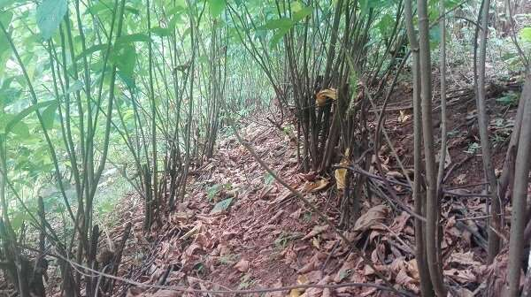 Rubber-leguminous shrub systems should be popularized to reduce greenhouse gas emissions in Xishuangbanna