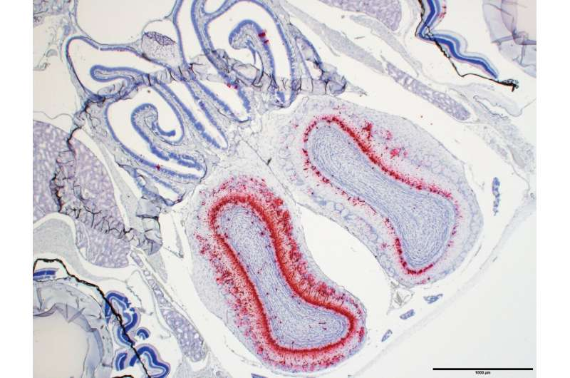 Scientists establish first lethal mouse model for COVID-19
