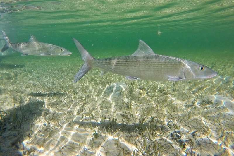 Scientists spawn bonefish in captivity for the first time