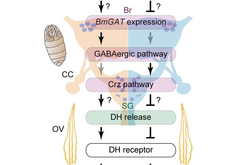 Silkworm's brain determines diapause by thermal information