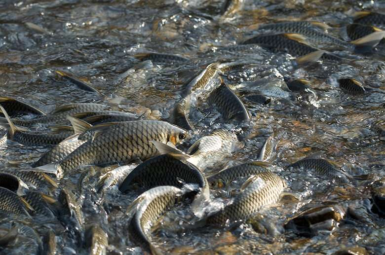Study in Thailand identifies benefits of community-based freshwater fish reserves