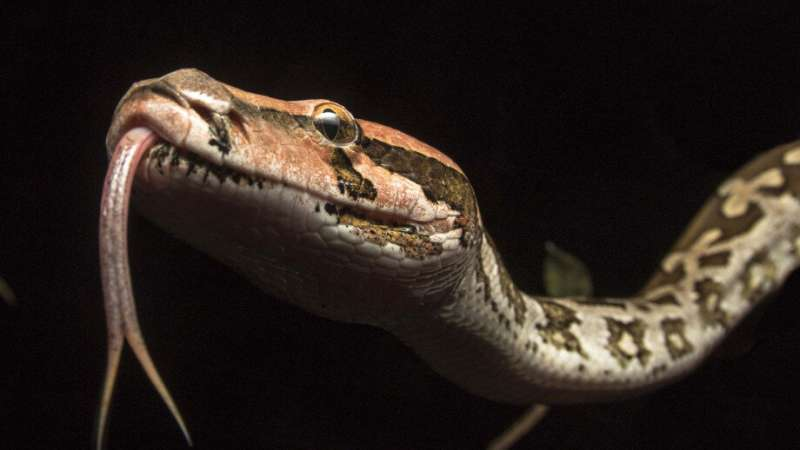 Study plots pythons' history in Australia