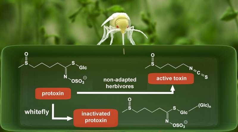 Surplus sugar helps whiteflies detoxify plant defenses