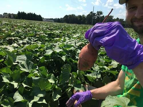 Sweet potato microbiome research important first step towards improving yield