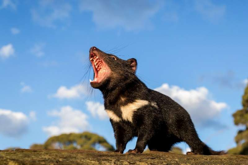 Tasmanian devils have been exinct on Australia's mainland for thousands of years