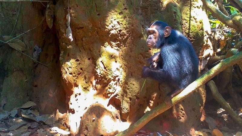 Termite-fishing chimpanzees provide clues to the evolution of technology