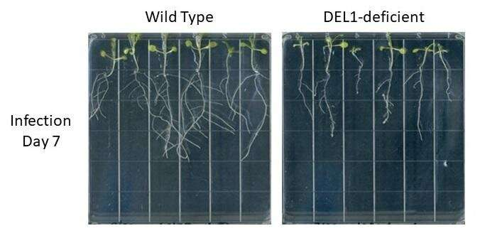 The balancing act between plant growth and defense