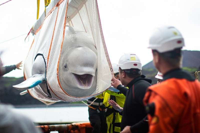 The beluga whales have moved to a sea sanctuary in Iceland after being released from a Shanghai aquarium