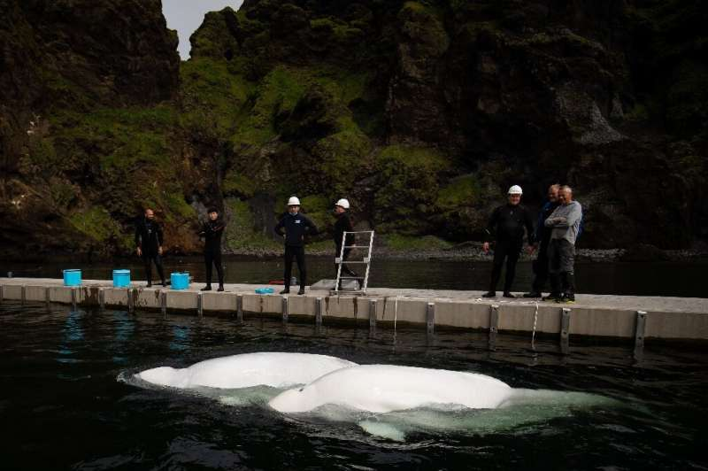 The conservationists hope to create a model for rehoming some 300 beluga whales currently in captivity