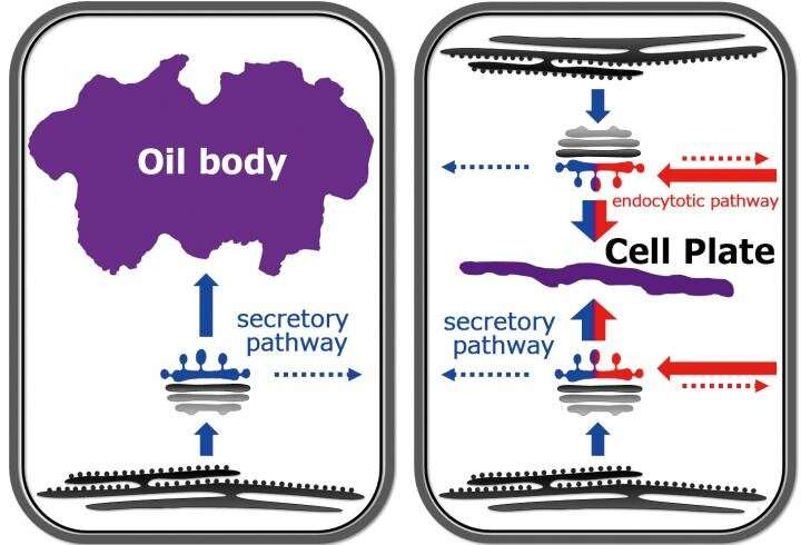 The liverwort oil body is formed by redirection of the secretory pathway