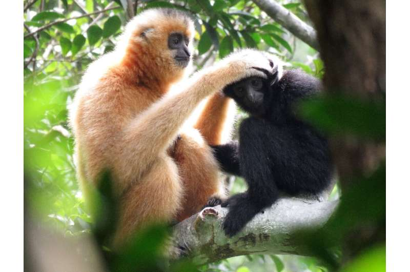 """There are 20 identified gibbon species across Asia. Most are either """"endangered"""" or """"critically endangered"""""""