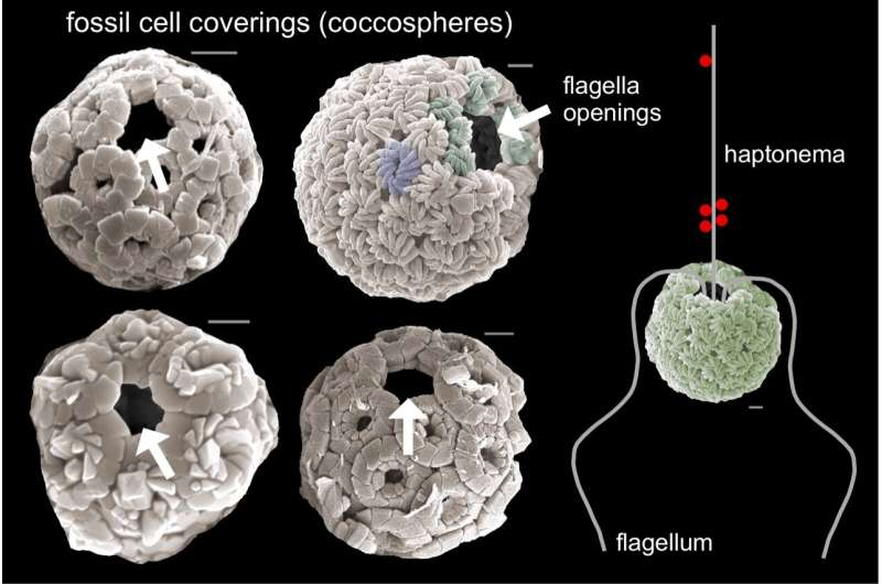 To survive asteroid impact, algae learned to hunt