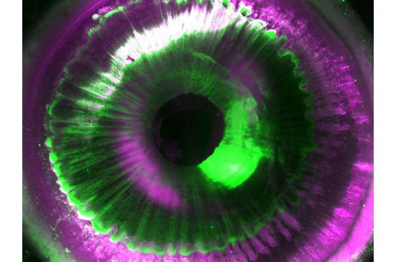 Transparent human organs allow 3D maps at the cellular level