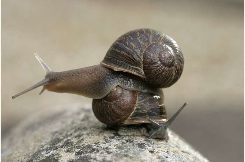 Two lefties make a right -- if you are a one-in-a-million garden snail