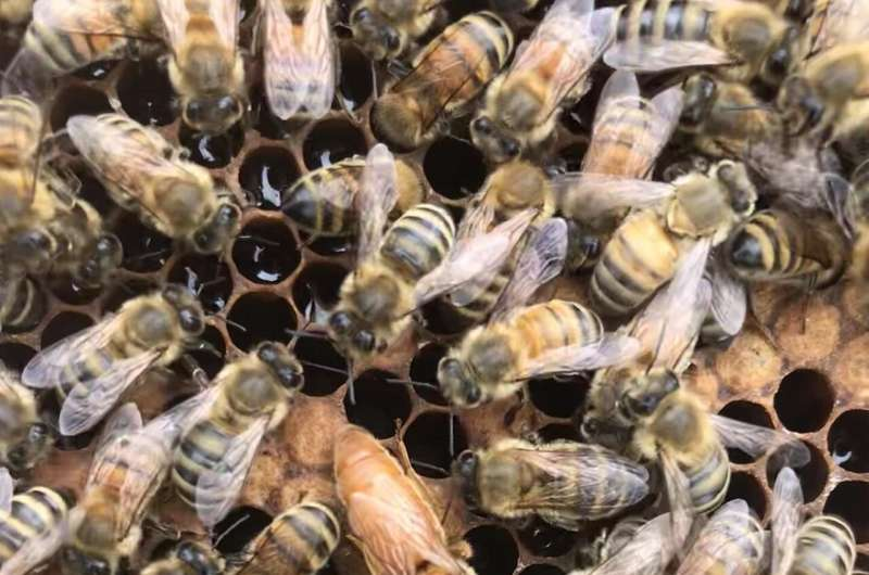 UBC scientists find clues to queen bee failure