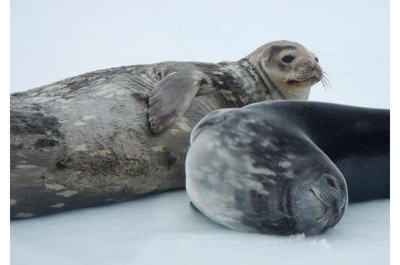 Under Antarctica's ice, Weddell seals produce ultrasonic vocalizations
