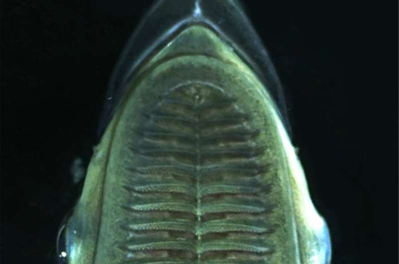 Vertical fibers in the suckerfish's suction cup-like fin help it hitchhike