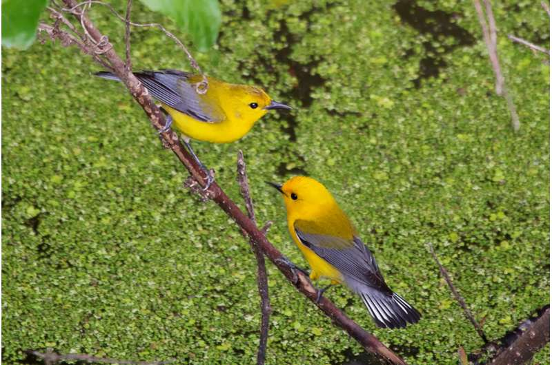 Warmer springs mean more offspring for prothonotary warblers