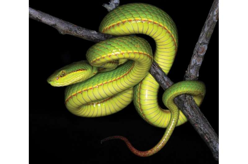 Welcome to the House of Slytherin: Salazar's pit viper, a new green pit viper from India