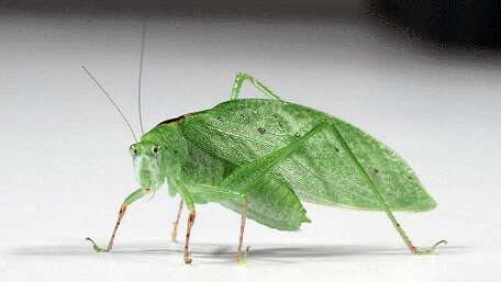 What did the katydids do when picking up bat sounds?