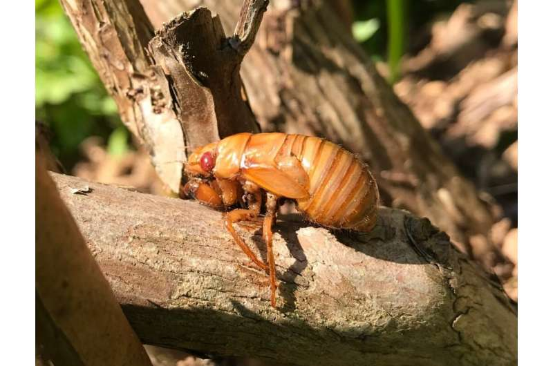 What's that noise? The 17-year cicadas are back