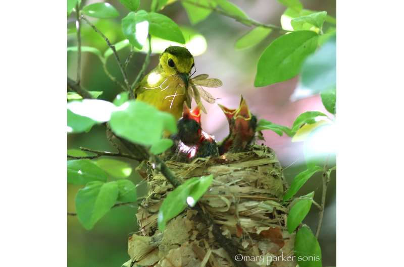 When fathers go missing, female songbirds take up the slack
