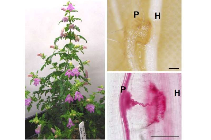 When plants attack: parasitic plants use ethylene as a host invasion signal