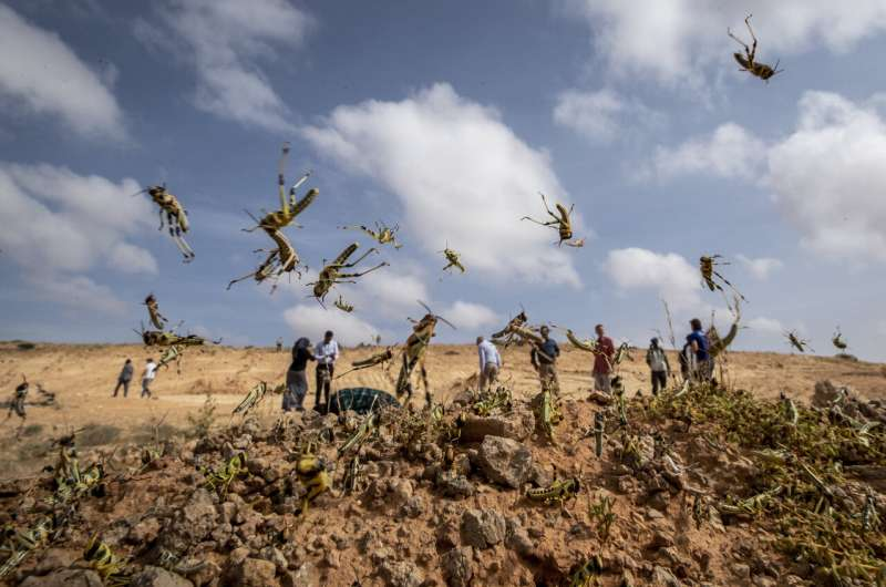 """""""Where it begins"""": Young hungry locusts bulk up in Somalia"""
