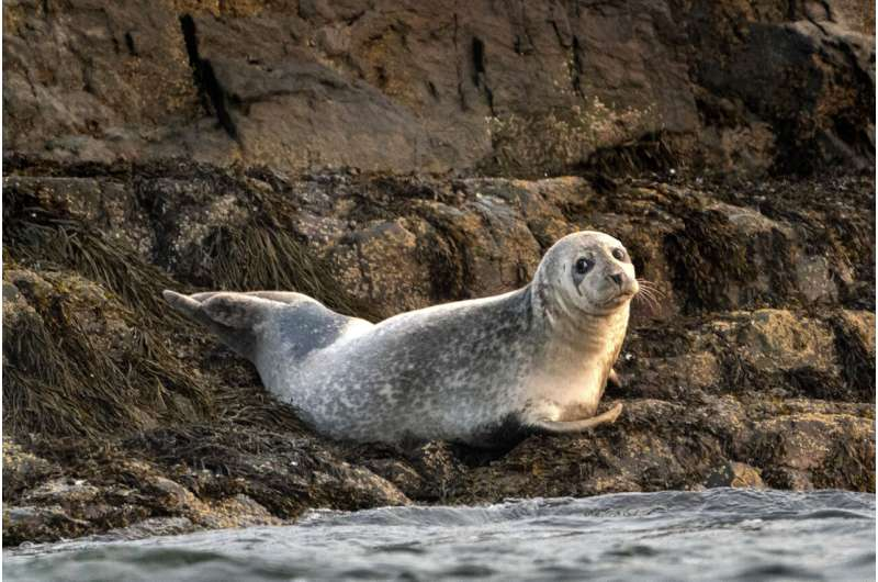 Conservation success or pests? Seals spark passionate debate