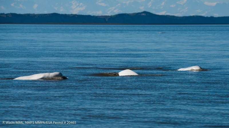 Study sheds light on critically endangered beluga whale population