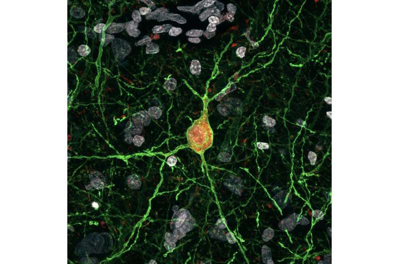 A new strategy for the viral manipulation of interneurons in mice and other mammals