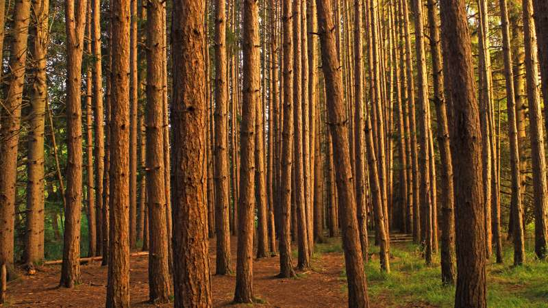 How climate change may reshape pine plantations