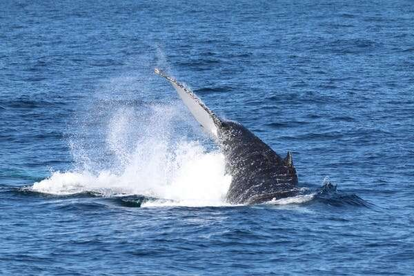 Humpback whales have been spotted in a Kakadu river. So in a fight with a crocodile, who would win?