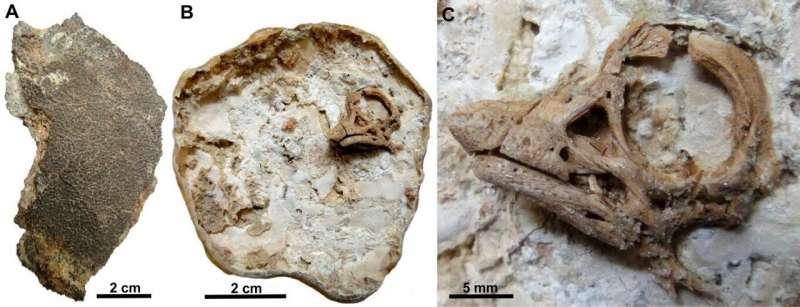 Newly discovered rare dinosaur embryos show sauropods had rhino-like horns