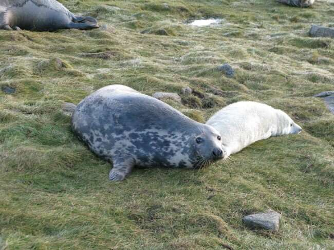 Research reveals the extent of grey seals' maternal sacrifice
