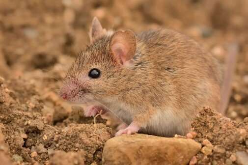 New study reveals Europe's earliest house mouse—followed swiftly by the house cat