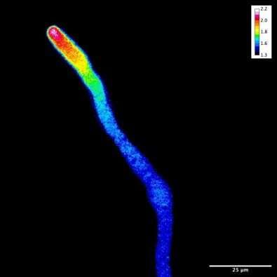 Researchers explore pollen fertilization mechanisms