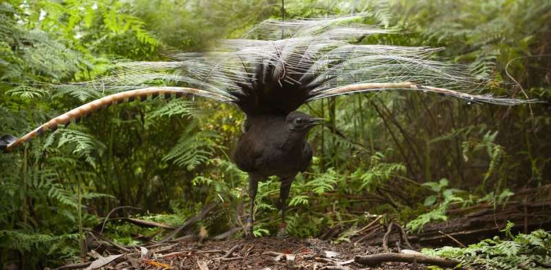 New research shows lyrebirds move more litter and soil than any other digging animal