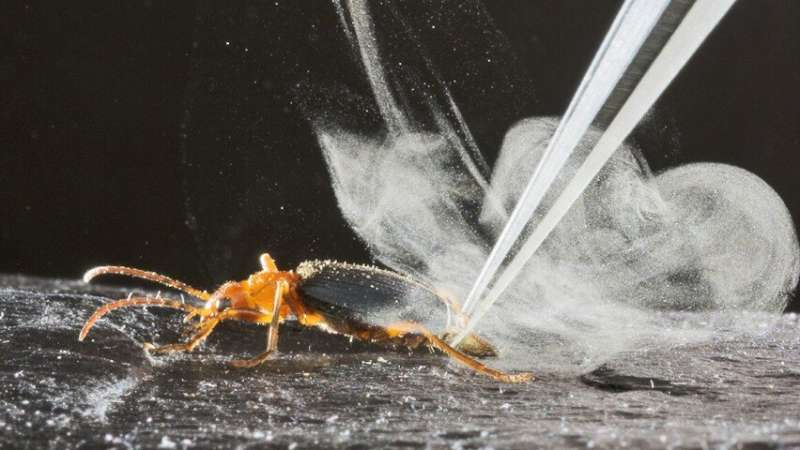 Research reveals the chemistry behind the bombardier beetle's extraordinary firepower